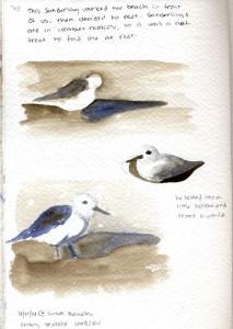 092114 sanderling