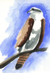 090515-HCP-Osprey