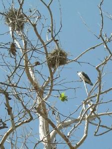 DSCN0641_osprey corm tree_800